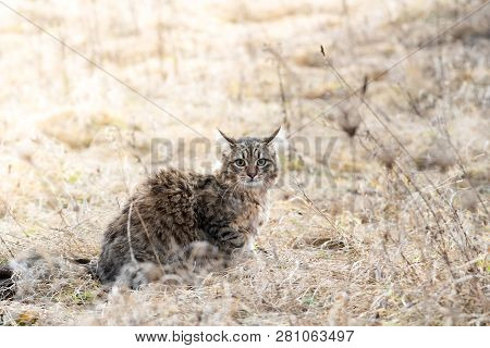 Mixed Breed Cat Outdoor Field Grass Dry Fluffy
