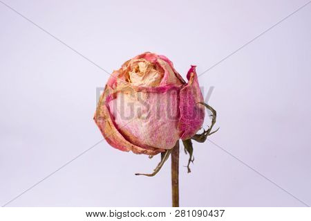 Dried Small Pink Rose Isolated On White Background. Closeup View. Natur Morte.