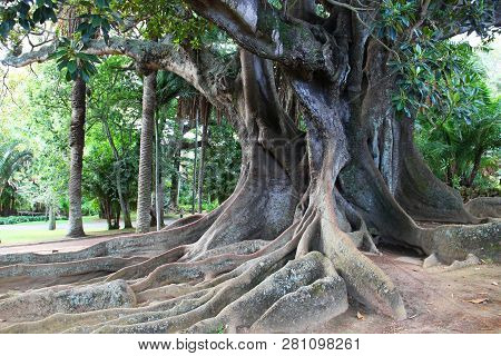 Huge ficus tree in Antonio Borges park (Jardim Antonio Borges) in Ponta Delgada, Sao Miguel, Azores islands, Portugal poster