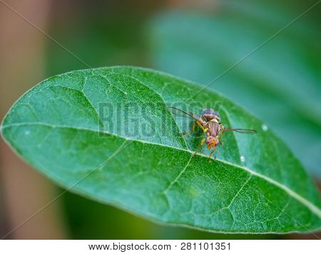 Close Up Shot Of A Queensland Fruit Fly On A Feijoa Leaf. The Qld Fruit Fly Is A Serious Agricultura