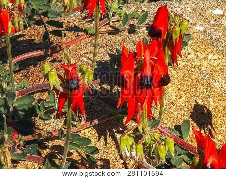 A Close Up Of A A Bright Red Start's Desert Pea Growing Over A Boulder