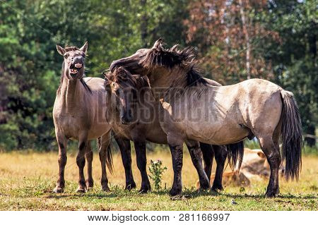 Tarpans Horses (equus Ferus Ferus). Endangered Wild Horses In The Meadow