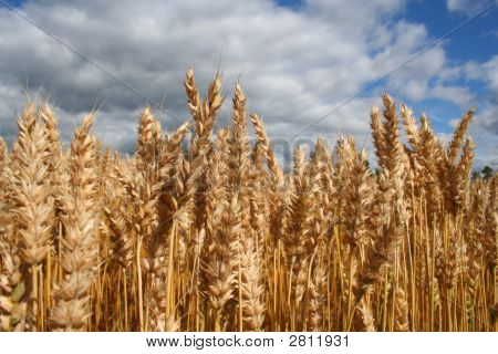 Yellow Grain Ready For Harvest Growing In A Farm Field. Blue Cloudy Sky Above