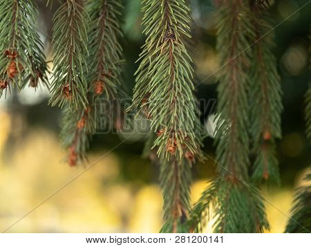 Close Up View On Pine Needles With Bokeh Effect. White And Golden Bokeh. Green Pine Needles With Sma