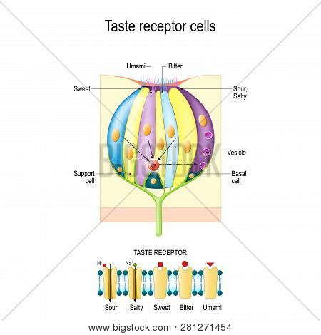 Taste Bud With Receptor Cells. Types Of Taste Receptors. Cell Membrane And Ion Channels For Sour, Sa