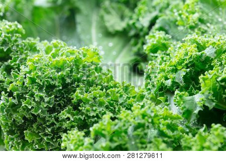 Kale. King of nutrition. Close up of a fresh Kale leaf with dew.