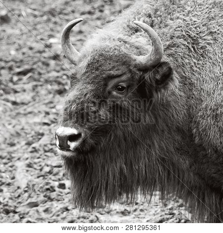 Giant Animals. Wildlife Of Natural Reserve. Huge Powerful Bison In Winter. Wild Nature In National P