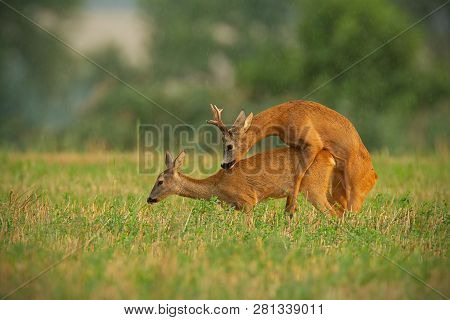 Roe Deer Couple Copulating In Rutting Season