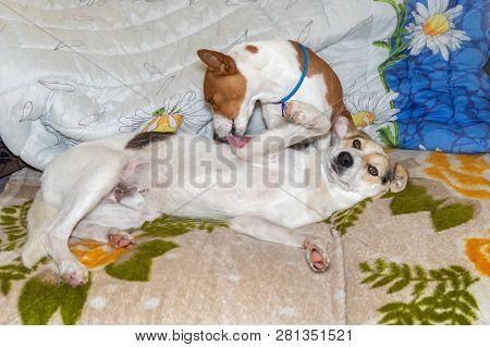 Mature Basenji Dog Lick Clean Mixed Breed Dog Lying On A Sofa