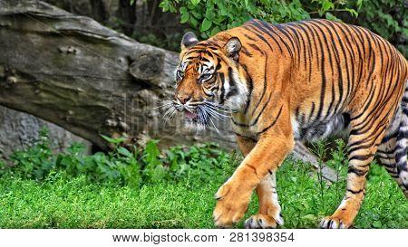 Sumatran Tiger. Nice Photo Of A Walking Tiger. Sumatran Tiger Is The Smallest Of All Living Tigers.
