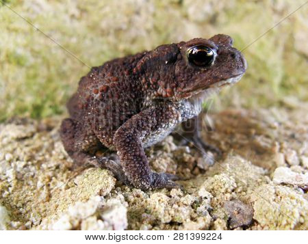 a young important puffy toad with bulging eyes sits on the sand in anticipation of a prince. poster