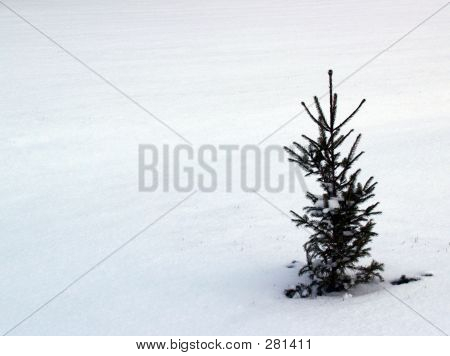 Spruce Seedling With Snow Background