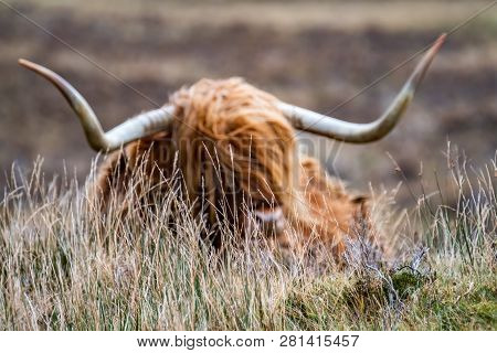 Field With Blurry Hairy Scottish Highlander In The Background- Highland Cattle - Next To The Road, I