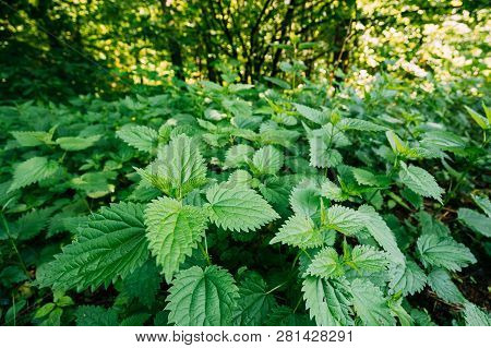 Twigs Of Wild Plant Nettle Or Stinging Nettle Or Urtica Dioica In Spring Meadow