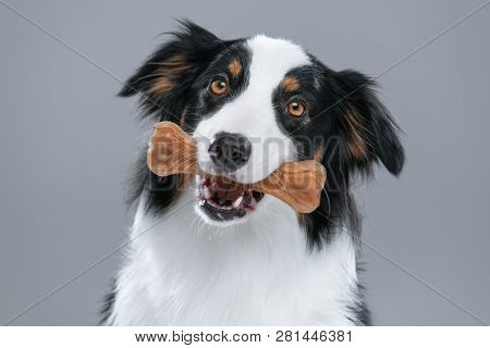 Close up portrait of cute young Australian Shepherd dog with chew bone on gray background. Beautiful adult Aussie with pet accessories for eat.