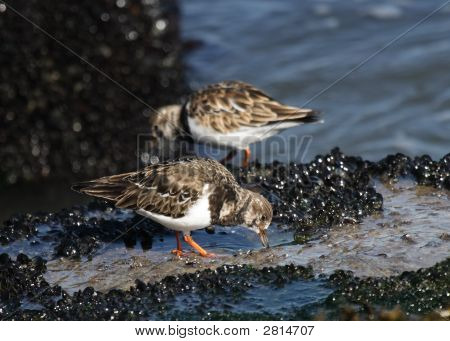 Piping Plover Pair