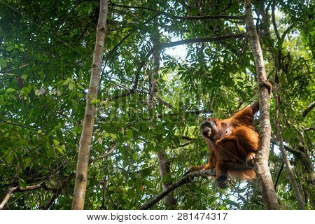 Orangutan In Jungle Portrait. Semi-wild Female Orangutan In Jungle Rain Forest  Of Bukit Lawang, Nor