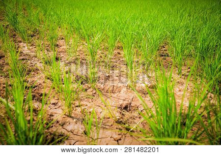 Arid green rice field / Cracked ground dry land during the dry season in rice field agriculture area natural disaster damaged agriculture - soil dry mud arid poster