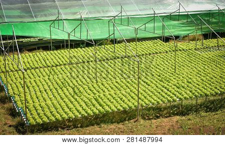 Vegetable Hydroponic System / Young And Fresh Vegetable Green Oak Lettuce Salad Growing Garden Hydro