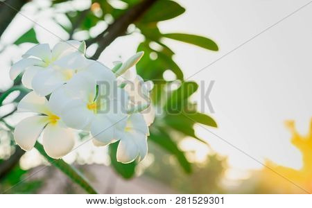 Frangipani Flower (plumeria Alba) With Green Leaves On Blurred Background. White Flowers With Yellow