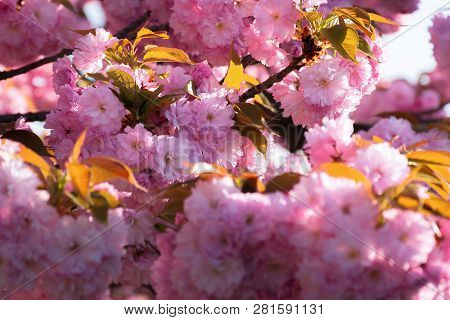 Cherry Blossom. Beautiful Natural Background. Tender Pink Flowers On The Branch. Wonderful Sunny Day