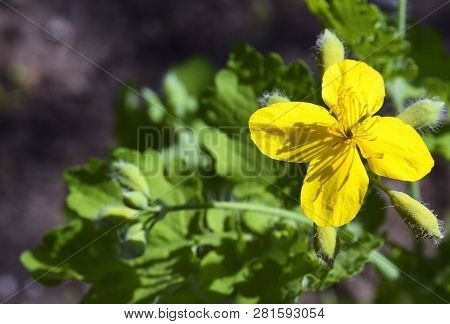 Chelidonium Majus Yellow Flower Also Known As Greater Celandine Or Tetterwort In The Spring Forest.s