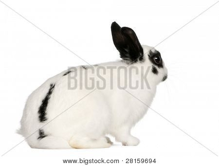 Dalmatian rabbit, 2 months old, Oryctolagus cuniculus, sitting in front of white background