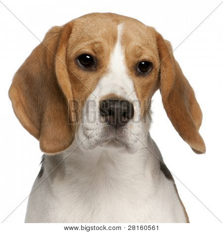 Close-up of Beagle puppy, 6 months old, in front of white background