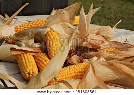 Many Ripe Corn Cob Scattered In Disarray With Dry Leaves Around