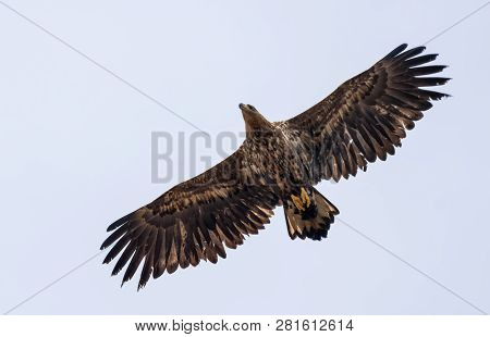 Young White-tailed Eagle Soars In Sky With Wide Spreaded Wings And Tail