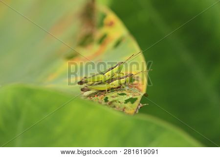 Two Grasshoppers Copulate On Green Leaf. One Grasshopper Is On Top Of The Other One. The Picture Is