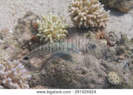 Speckled Sandperch on Coral Reef in Red Sea off Eilat, Israel poster