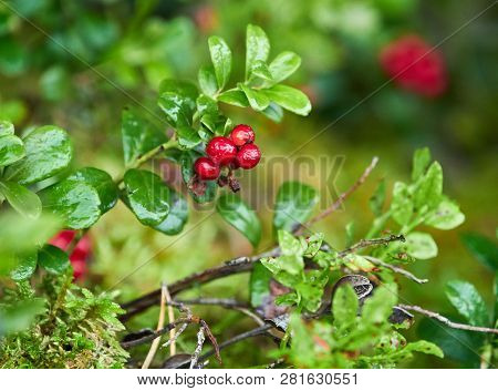 Closeup Of Red Cowberries With Leaves In A Forest. Nature Background. Ripe Red Lingonberry, Partridg
