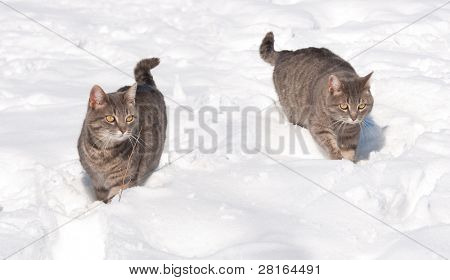 Two blue tabby cats in snow on a cold winter day poster