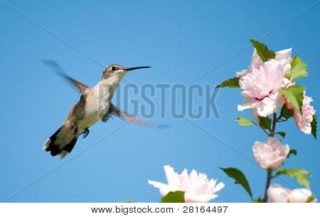 Tiny female Hummingbird hovering, getting ready to feed on an Althea flower