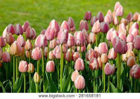 Spring flower field. Beautiful spring background. Tulips in spring garden. Farming and gardening theme.