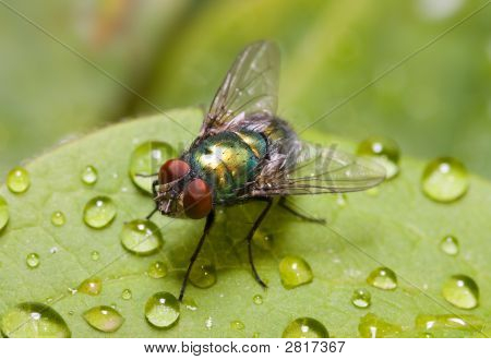 Golden-Green Bottle Fly On A Leaf, Three Quarters View