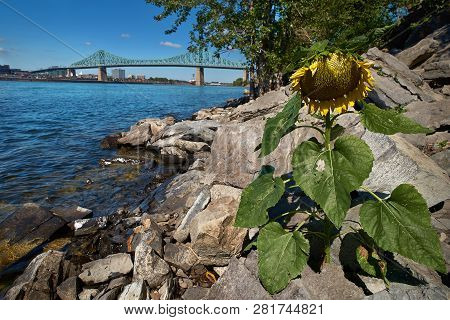 Sunflower By The River Saint Laurent. Overlooking The Jacques Cartier Bridge Over The River.