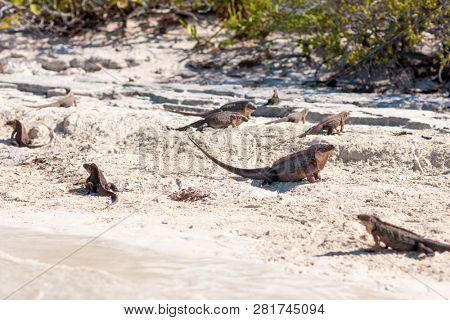 animal, fauna and nature concept - exuma island iguanas in the bahamas
