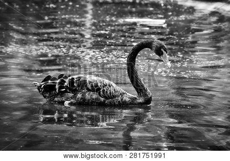 Gorgeous Black Swan On A Lake. Black And White Photography. Beautiful Landscape. Amazing Vintage.