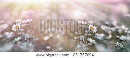 Flowering, Blooming Flowers In Spring, Daisy Flower In Meadow Lit By Sunlight (sunbeams)