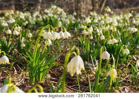 Blooming Spring Snowflakes. First Flowers On A Forest Glade During Springtime. Beautiful Nature Back