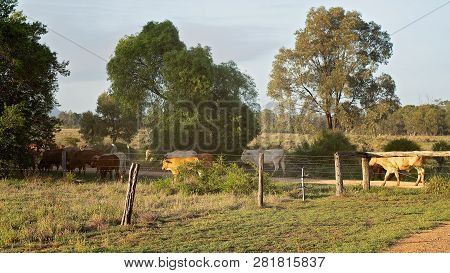 Cattle Being Moved By A Drove Through Trees In Early Morning Light