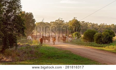 Cattle Droving After A Muster To Move Animals From One Property To The Next