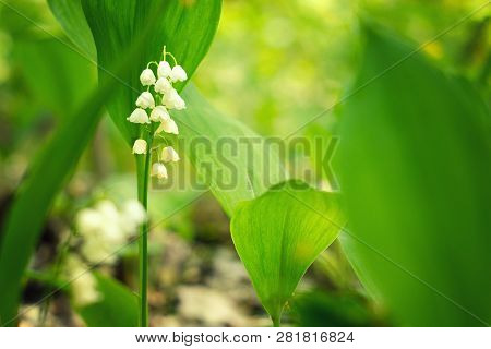Meadow Lilies Of The Valley. Wildness Of Bright Lilies Of The Valley On Spring Sunny Forest Meadow.