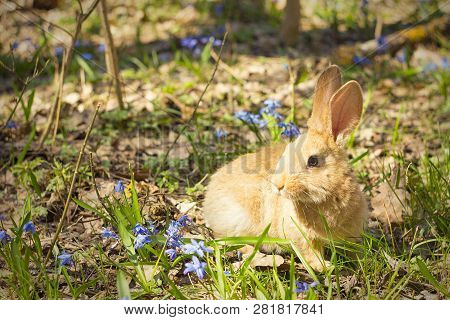 Brown Fluffy Bunny In A Meadow Of Blue Flowers.a Small Decorative Rabbit Goes On Green Grass Outdoor