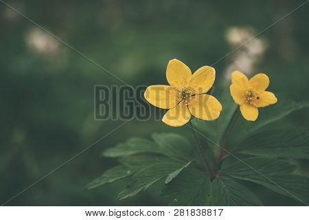 Adonis Vernalis Yellow Wildflower On Spring Meadow
