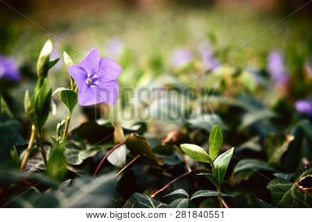 Close Up Photo Of Periwinkle Flower On Spring Meadow