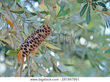 Australian Native Coast Banskia Seed Pod, Banksia Integrifolia, Family Proteaceae, Wollongong, Nsw,