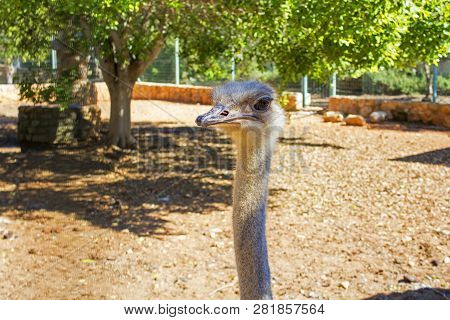 Ostrich Head With Envy Face On Long Neck